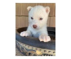 2 females left Siberian Huskies