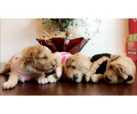 2 girls and a boy Poodle puppies