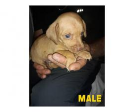 2 males and 1 female Chiweenie puppies ready for pickup