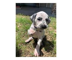 6 weeks old Dalmatian puppy