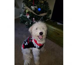 Komondor puppy looking for a large fenced in yard