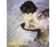 Male Teacup Poodle
