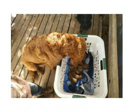 Chesapeake Bay Retriever Female Puppies for Sale