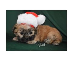 3 Maltese Shih Tzu Puppies for Sale