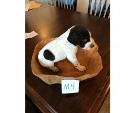 1 Female and 2 Male left German Shorthaired Pointer puppies for sale