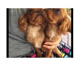 5 month old  males English Toy Spaniel Puppies for Sale