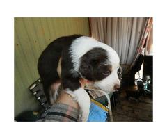 Australian Shepherd puppies for sale 6 Available