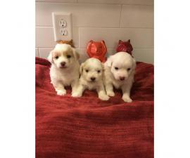 Cute & Tiny White Maltipoo Puppies for Sale