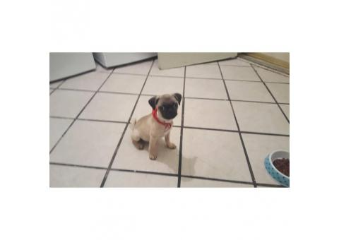 12 weeks old pug puppy for sale