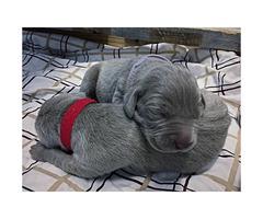 Adorable Weimaraner Puppies for Sale