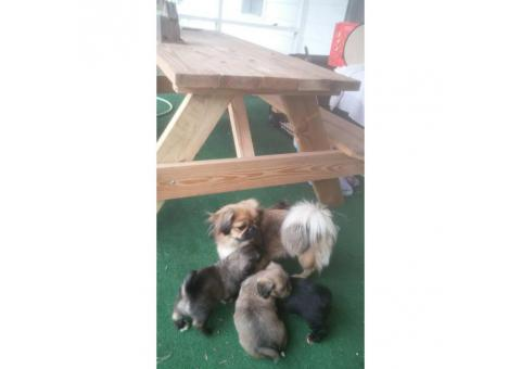 3 males 1 female Peekapoo Puppies for Sale