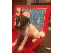 Jack Rat Terrier Puppies for Sale Ready for Christmas