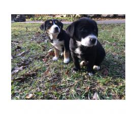 3 Border Collie mix puppies needs loving home