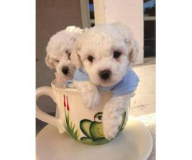 AKC Bishon Frise Puppies for Sale - 2 Males