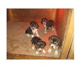 Akc Registered Small Sized Beagle Puppies To A Good Home