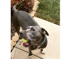 2 years old Blue Nose Pit Bull for sale