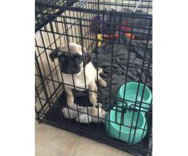 Female Pug Puppy Ready To Go To A Great Home