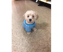 2 month old Maltipoo puppies for sale