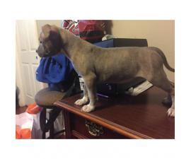 Three Female American bully puppies Available