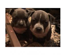 Blue American Bully Puppies for Sale - 2 Females Left