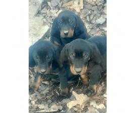 Black and Tan Coonhound Puppies deserve a good home