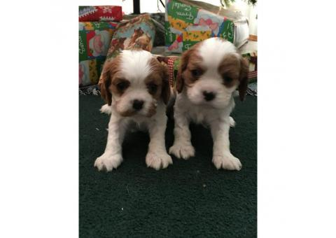 Cavalier King Charles puppies - Full AKC registration