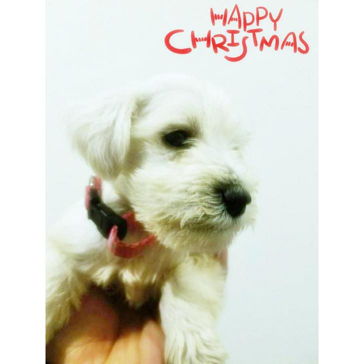 White Miniature Schnauzer Puppies For Sale 3 Females 2 Males Available In Las Vegas Nevada