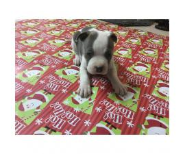 Blue Nose Pit Bull Puppies are ready to be adopted