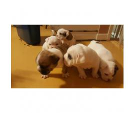 English bulldog for sale - 3 Puppies Left