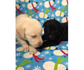 AKC registered Labrador Retriever puppies All set just in time for Christmas