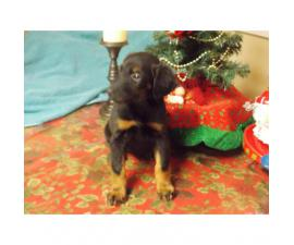 8 weeks old AKC Doberman puppies champion bloodline