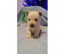 Scottish terrier puppies - 4 available for sale