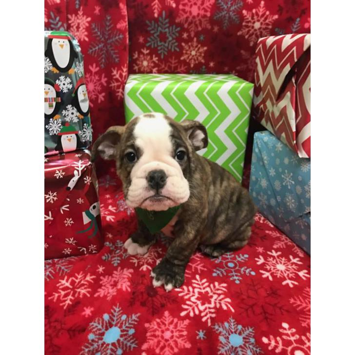 10 weeks old Male English Bulldog Puppies for Sale in ...