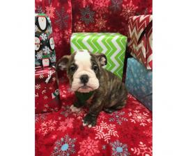 10 weeks old Male English Bulldog Puppies for Sale