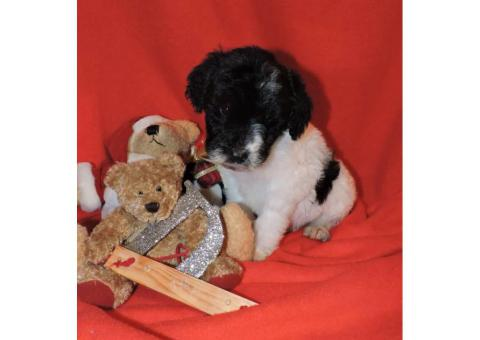 Goldendoodle Puppies for Sale - Micro-chipped