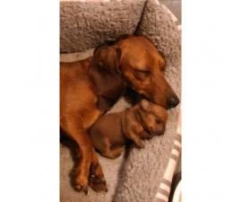 Male and Female Mini Dachshund Puppies for Sale