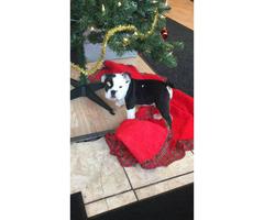 Beautiful tri color English bulldog puppy for sale