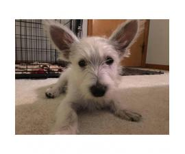 15 week old West Highland White Terrier Puppies for Sale