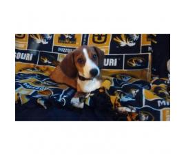 5 months old Beagle Puppy for Sale