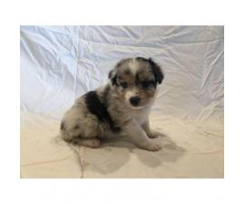 Males and females Australian Shepherd puppies from 2 Litters