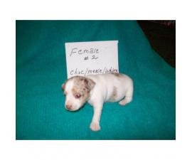 3 purebred female rat terrier puppies for sale