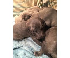 9 beautiful Weimaraner puppies for New Years