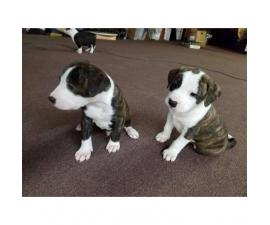 8 American Bull Terrier puppies ready for adoption