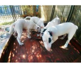 White Bull Terrier puppies for Sale