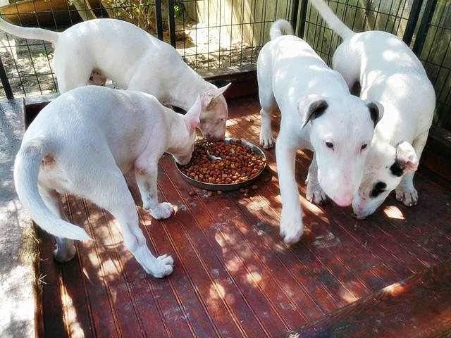 White Bull Terrier Puppies For Sale In Pensacola Florida Puppies For Sale Near Me
