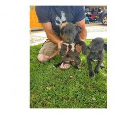 Rehoming 2 beautiful  female Great Dane puppies