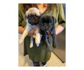 8 weeks old Pretty Pug puppies
