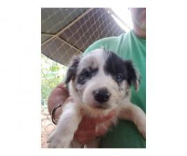 7 weeks old border collie puppies for rehoming