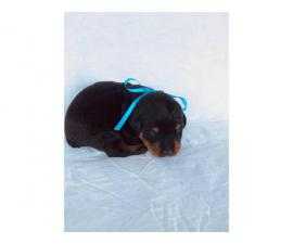 Rehoming 5 cute Rottweiler pups