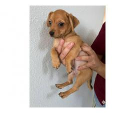9 week old male Chiweenie puppy